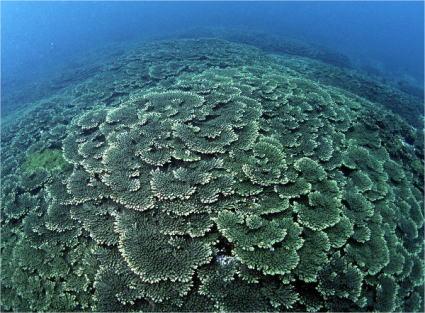 串本サンゴ
